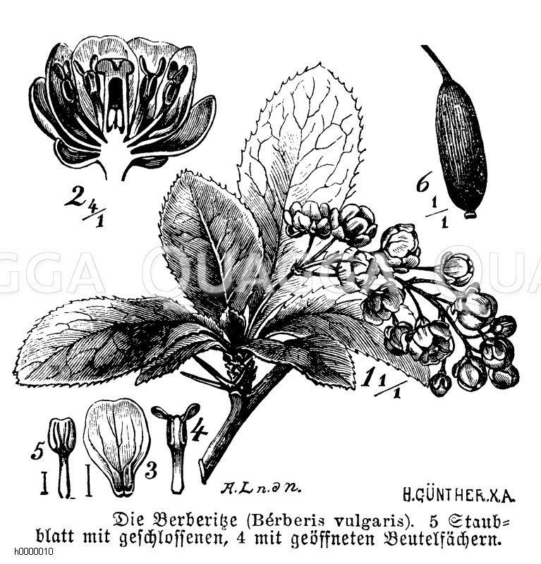 Balsaminaceae - Balsaminengewächse