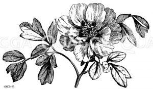 Peoniaceae - Pfingstrosengewächse