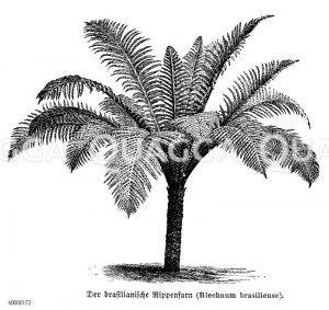 Blechnaceae - Rippenfarngewächse
