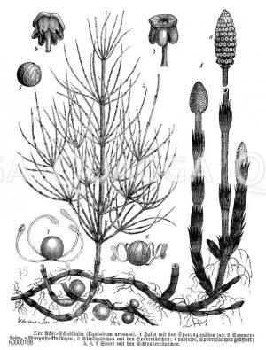 Equisetaceae - Schachtelhalmgewächse