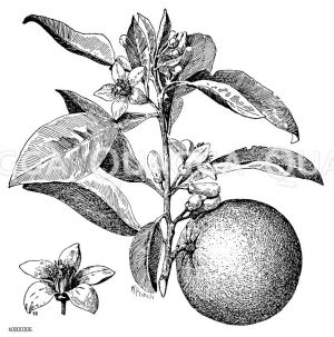 Rutaceae - Rautengewächse