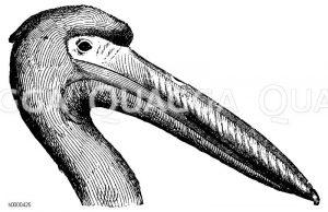 Pelikane - Pelecanidae