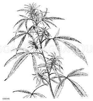 Marihuana, Hanf