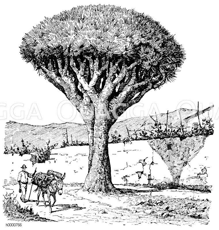 Ruscaceae - Mäusedorngewächse