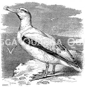 Albatrosse - Diomedeidae