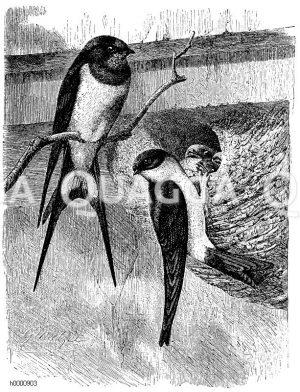 Schwalben - Hirundinidae
