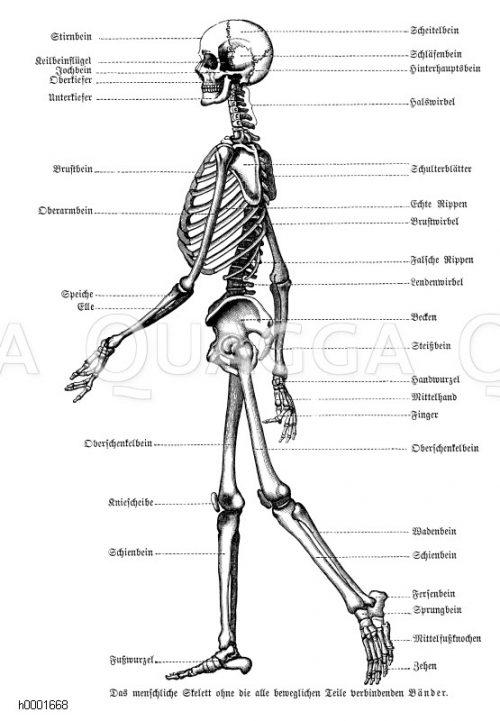 vollständige Skelette Archives - Seite 2 von 3