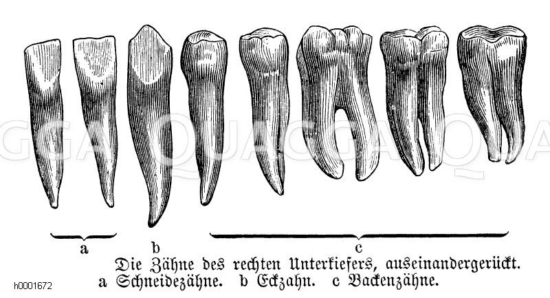 Mensch: Zähne