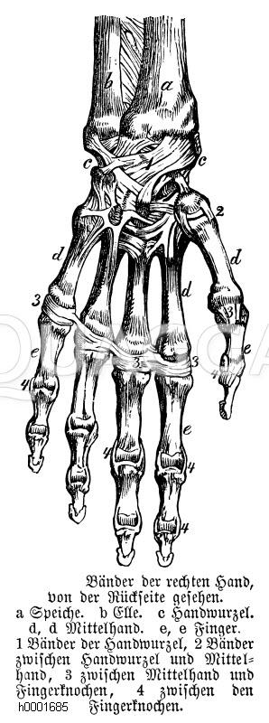 Mensch: Bänder der rechten Hand