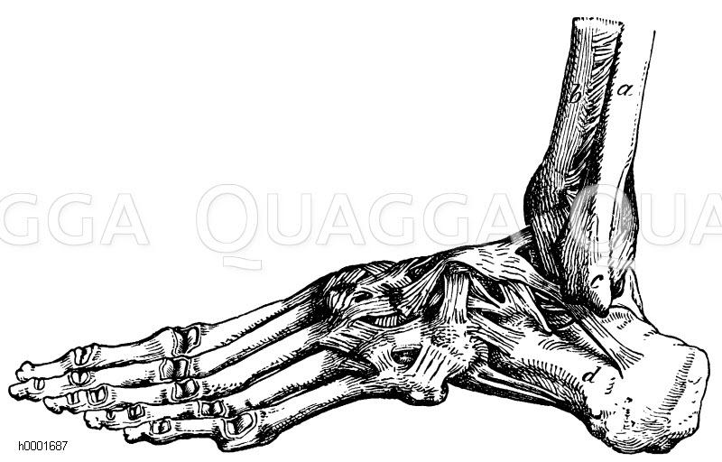Mensch: Bänder des Fußes. a Wadenbein, b. Schienbein, c äußerer ...