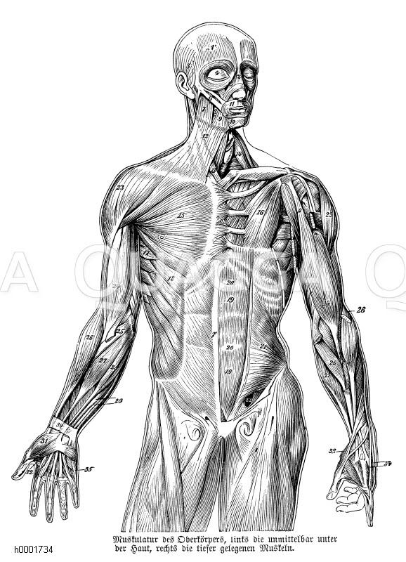 Mensch: Muskulatur des Oberkörpers