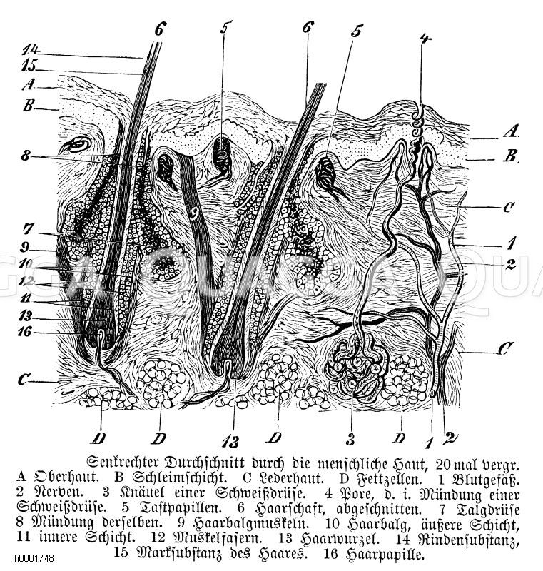 Senkrechter Querschnitt durch die menschliche Haut