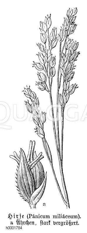 Poaceae - Süßgräser Archives - Seite 2 von 5