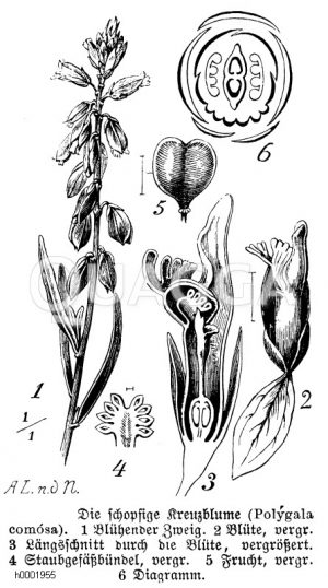 Polygalaceae - Kreuzblumengewächse