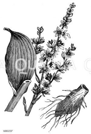 Melanthiaceae - Germergewächse