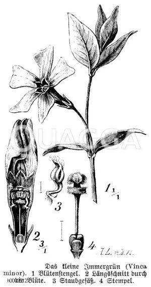 Apocynaceae - Immergrüngewächse