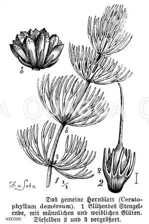 Ceratophyllaceae - Hornblattgewächse