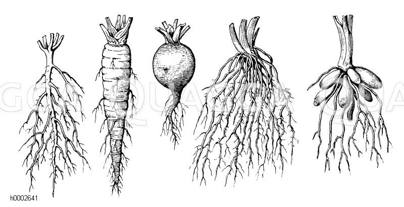 Pfahlwurzel Bäume