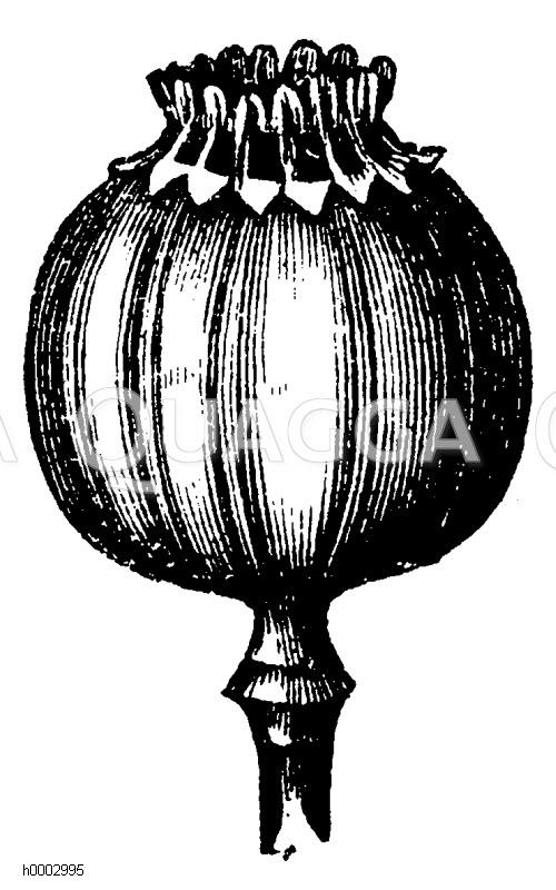 Papaveraceae - Mohngewächse