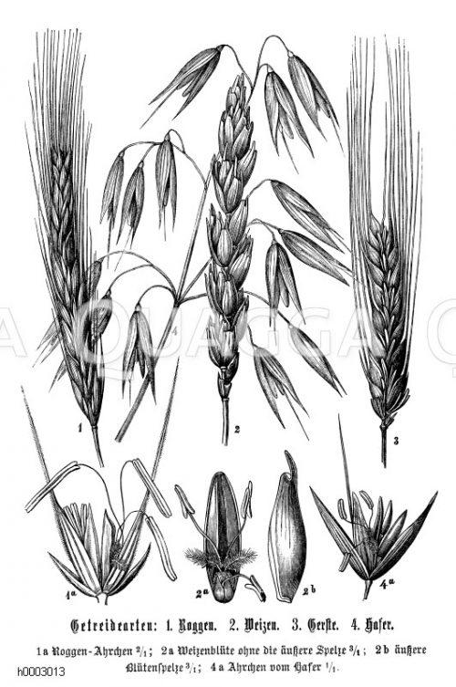 Poaceae - Süßgräser Archives - Seite 4 von 6