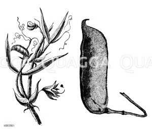 Kichererbse