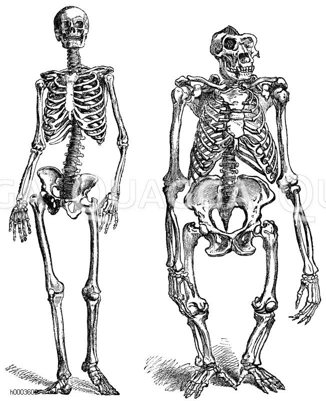 Atemberaubend Menschliche Skelettsystem Bilder Zeitgenössisch ...