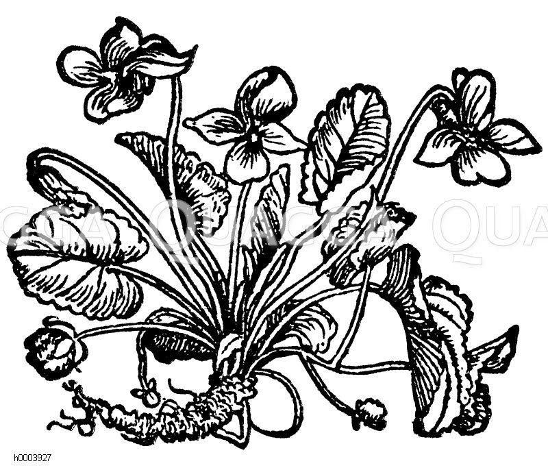 Violaceae - Veilchengewächse