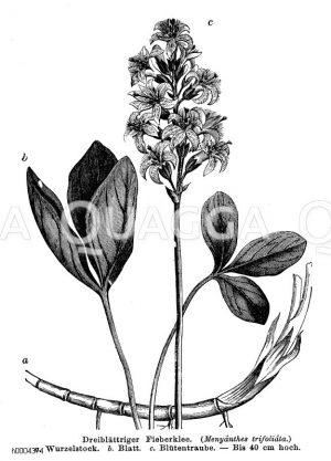 Menyanthaceae - Fieberkleegewächse
