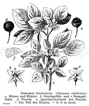 Rhamnaceae - Kreuzdorngewächse