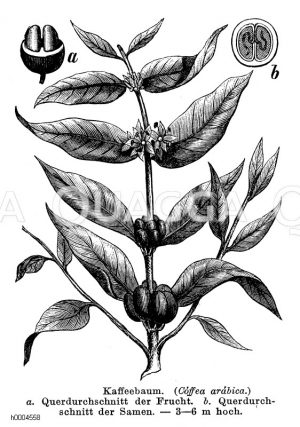 Rubiaceae - Rötegewächse