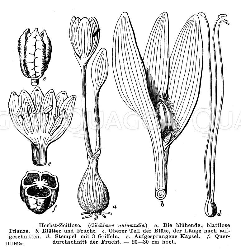 Colchicaceae - Zeitlosengewächse