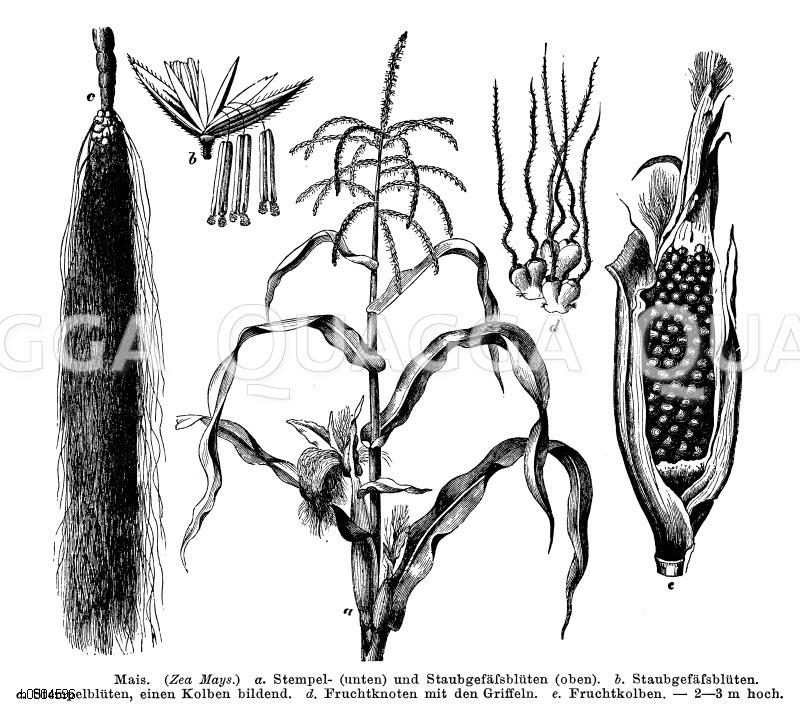 Poaceae - Süßgräser Archives - Seite 3 von 6