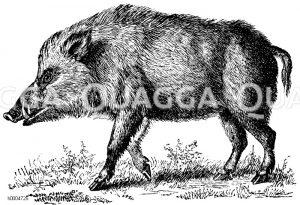 Wildschwein, Schwarzwild