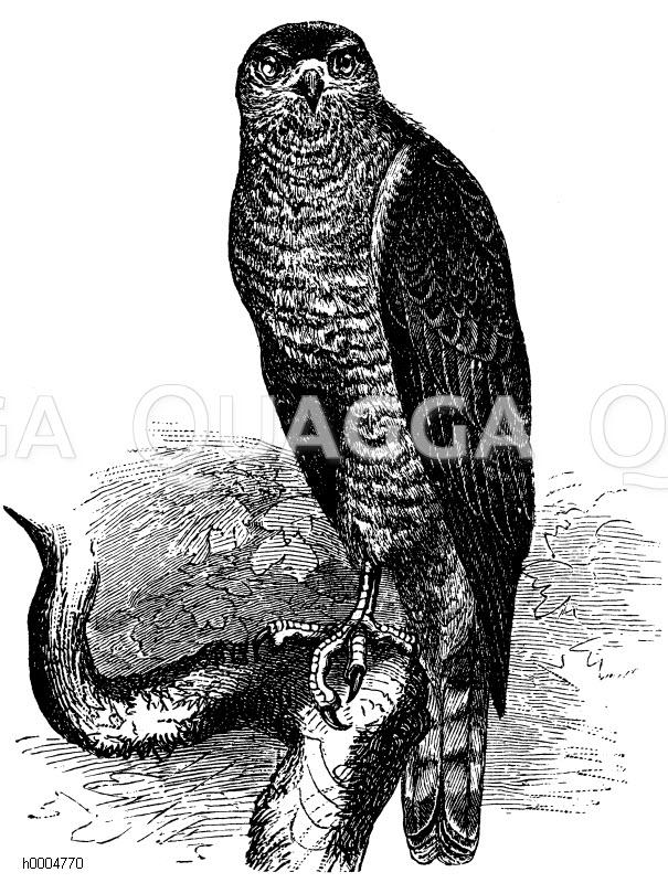 Habichtartige - Accipitridae