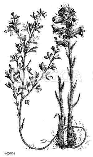 Orobranchaceae - Sommerwurzgewächse