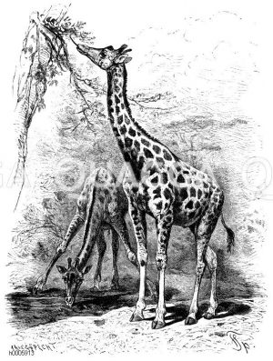 Giraffen und Okapis