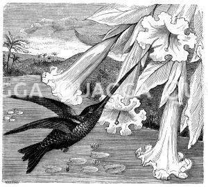 Kolibris - Trochilidae