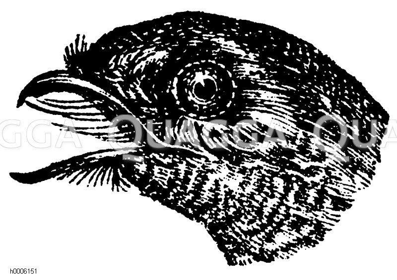 Nachtschwalben - Caprimulgidae