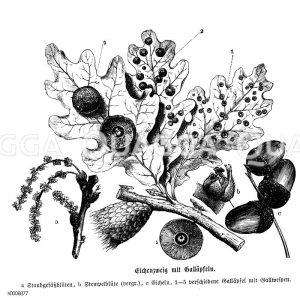 Eiche: Zweig mit Galläpfeln