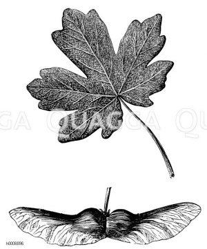 Aceraeceae - Ahorngewächse