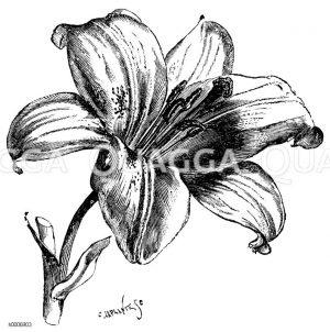 Liliaceae - Liliengewächse