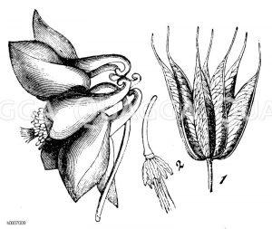 Ranunculaceae - Hahnenfußgewächse