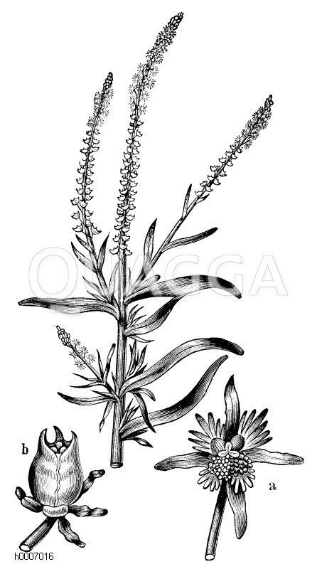 Resedaceae - Resedagewächse