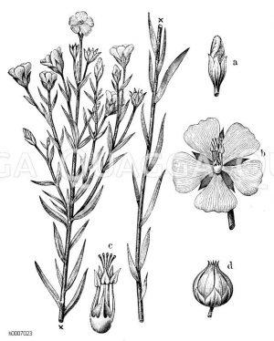 Linaceae - Leingewächse