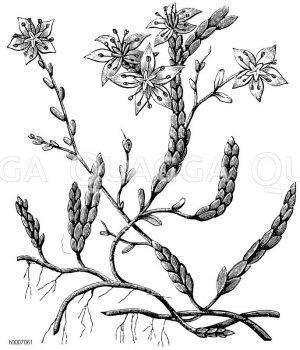 Piperaceae - Pfeffergewächse