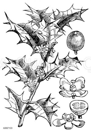 Aquifoliaceae - Stechpalmengewächse