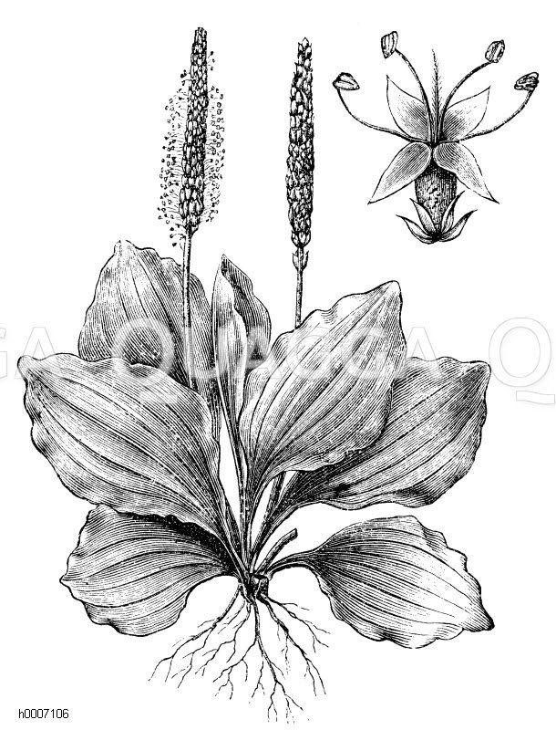 Plantaginaceae - Wegerichgewächse