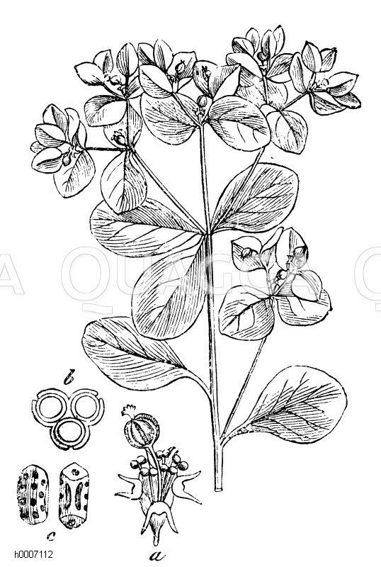 Euphorbiaceae - Wolfsmilchgewächse
