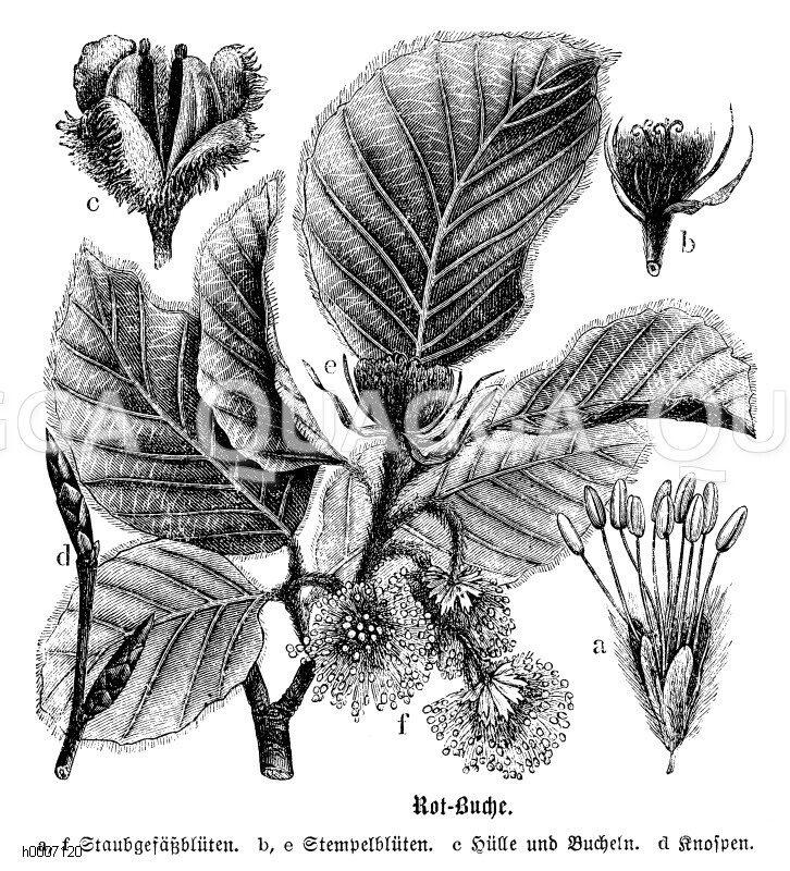 Fagaceae - Buchengewächse