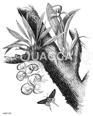 Orchidaceae - Knabenkrautgewächse